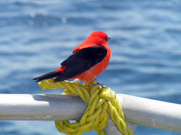 Scarlet tanager (small red and black bird) sitting on a boat railing in the sanctuary