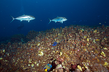 Two Amberjack swimming over a field of Orbicella annularis