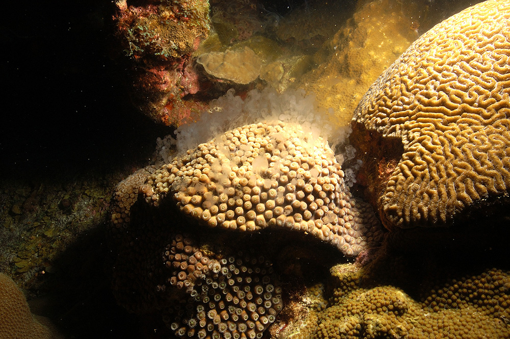 Brain coral on right next to star coral, on left, spewing a milky white substance