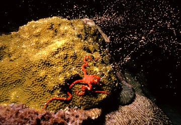 A ruby brittle star crawls across a spawning coral head