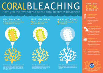 Infographic explaining coral bleaching