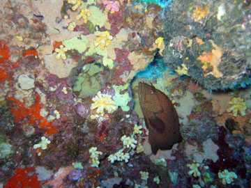 A graysby grouper under a ledge covered in orange cup coral colonies.