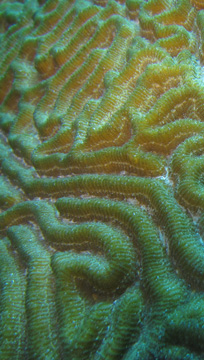 Grooves of Symmetrical Brain Coral (Pseudodiploria strigosa)