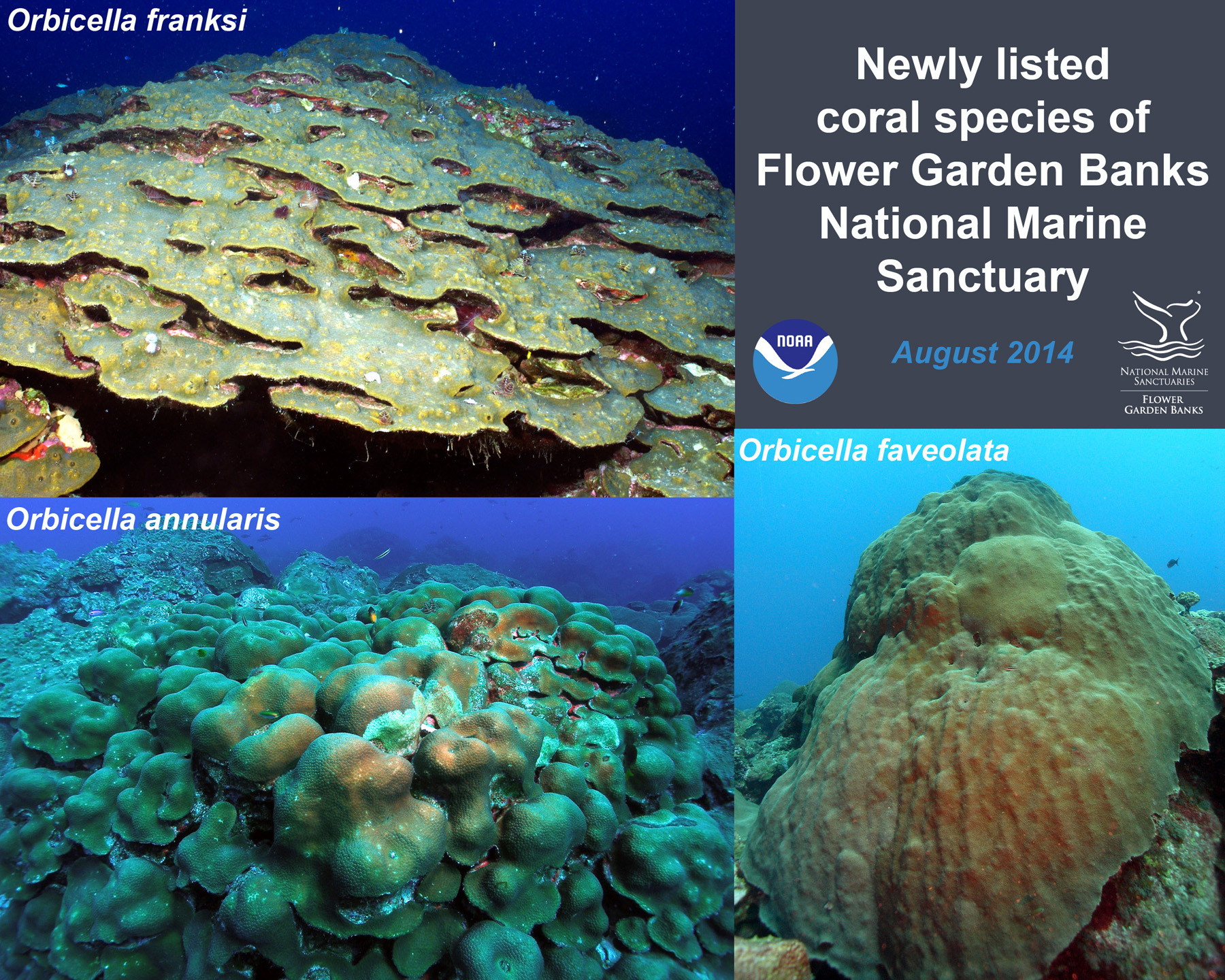 Cnidarians Of Flower Garden Banks National Marine Sanctuary