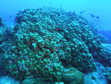 Lobed star coral colony in the sanctuary