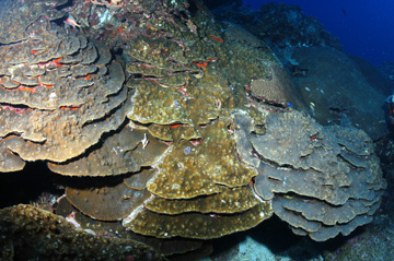 Large colony of boulder star coral layered out in plates.