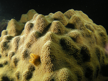 Mountainous Star Coral (Orbicella faveolata)