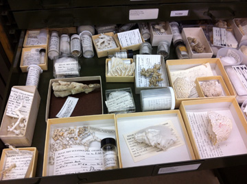 Coral specimens in small boxes inside an open drawer.