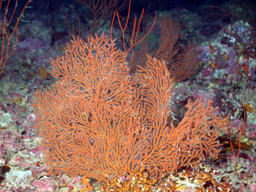 Red fan-shaped coral in deep habitat at West Flower Garden Bank