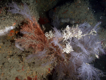 Bushy white and red corals in deep habitat at Stetson Bank