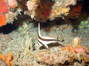 A small black and white striped fish swims amid orange sponges and corals in deep habitat at East Flower Garden Bank