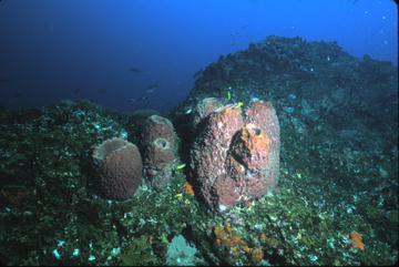 Sponges on the reef