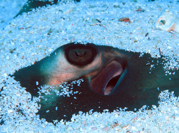 The eye of a stingray peeking out from under a layer of sand