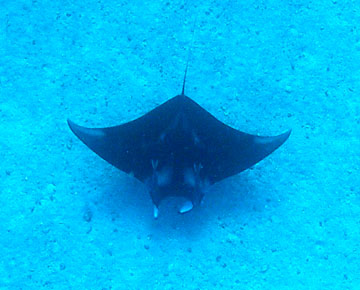 Looking down at the back of a manta ray swimming over a sand flat