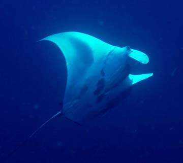 A manta ray viewed from beneath as it swims in blue water.