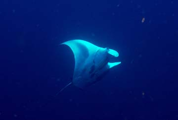 Belly view of a manta ray in the sanctuary