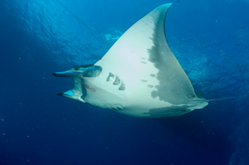 Sicklefin Devil Ray (Mobula tarapacana)
