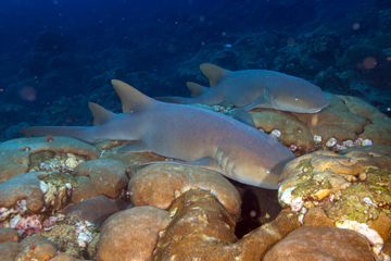 Two Nurse Sharks (Ginglymostoma cirratum)