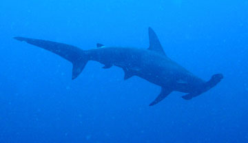 Scalloped Hammerhead Shark (Sphyrna lewini)