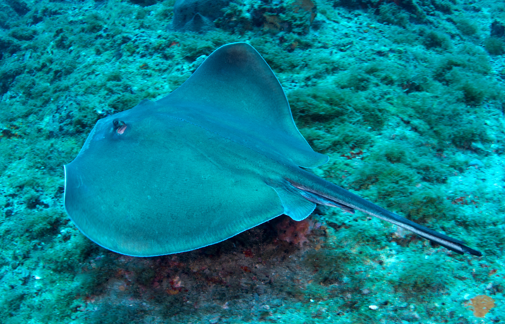 Sharks and rays of flower garden banks national marine for Is a stingray a fish