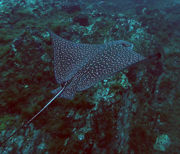 Spotted eagle ray swimming just above alge covered rocks
