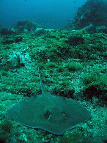 A southern stingray resting on the seafloor at Stetson Bank. Tufts fo green algae dot the surroundings and rocky outcroppings are visible in the background.