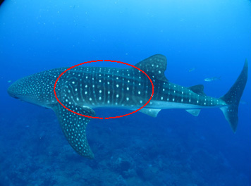 Whale shark swimming above reef. A red oval shows the part of the shark we would like to see photos of.
