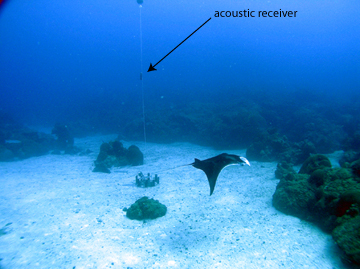 A manta ray swims over a sand flat surrounded by coral reefs.  In the sand flat is a round object with a buoy line suspended above. A cylindrical receiver is attached to the buoy line above reef height.