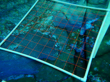 Research quadrat (pvc frame with string grid pattern) laid on top of canvas coral reef images on the bottom of a pool