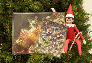 Elf doll sitting on Christams tree branches holding a candy cane and some images of Christmas tree worms and banded coral shrimp
