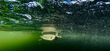 An underwater view of a sea turtle just released into greenish Gulf of Mexico water