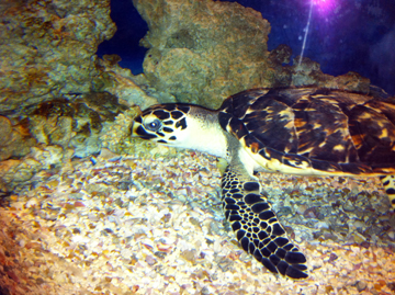Hawksbill sea turtle in an aquarium exhibit at Moody Gardens