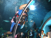 A student diver swimming over the glass tunnel in the aquarium exhibit.