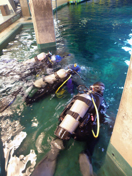 Scuba divers face down in the water at the top of Moody Gardens Caribbean exhibit, waiting to dive down.