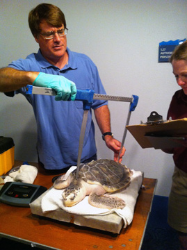 Fisheries person measuring a sea turtle carapace while another person writes down the information