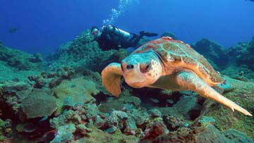 Sea turtle swimming above reef