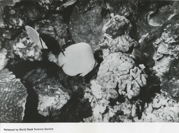 Butterflyfish swimming among corals at the Flower Garden Banks in 1967