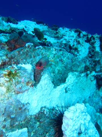 A red fish and a black sea urchin stand out against the stark white of bleached coral on a reef.