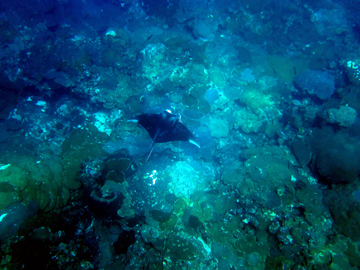 Top view of a manta ray swimming over a reef at some distance below