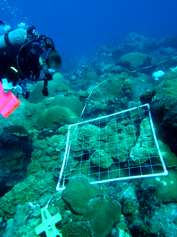 A diver observing a quadrat placed on the reef.