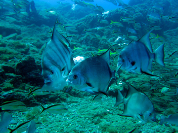 A group of spadefish with two fish eating a moon jelly