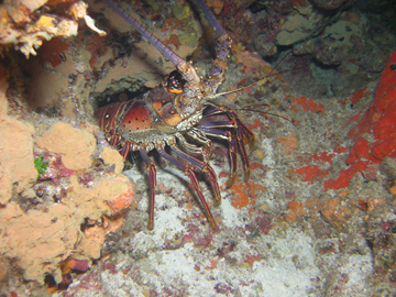 Front half of spiny lobster crawling out from under a rocky ledge.