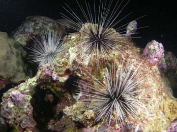 Three long-spined sea urchins on top of the reef at night.
