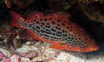 Reddish fish with dark spots and yellow pecroal fins resting under a coral ledge just above some sand and rubble.