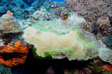 An elkhorn coral colony between a bright orange sponge on the left and a barrel sponge on the right.  The colony is split diagonally from top left to bottom right by a green line.  To the right of the line is greenish growth.  To the left of the line is healthy coral.