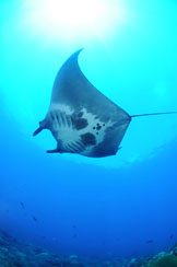The underside of a manta ray swimming to the left.  Belly markings show two large black blotches, some smaller black spots, and wide black margins along the fins.