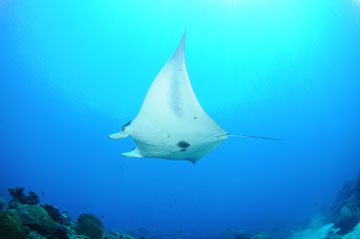 The underside of a manta ray swimming to the left.  Most of the belly area is white, with two dark blotches located near the base of the gill slits.