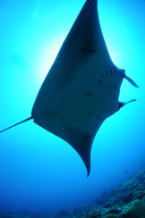 The underside of a manta ray swimming toward the right.  The belly markings include wide, black margins from the middle to the end of the fins and two dark blotches near the base of the gill slits.