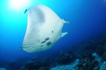 The underside of a manta ray swimming to the right. Belly markings show several grayish-black blotches, some smaller black spots, and pale gray margins along the fins.