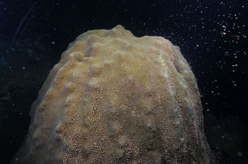A dome-shaped colony of star coral as it begins to spawn.  Small, white, bb-shaped egg packets are beginning to release from the colony and float in the water above.